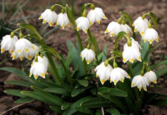 Ghiocelul Galanthus Nivalis-Romania